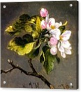 Apple Blossomss Acrylic Print