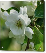 Apple Flowers Acrylic Print