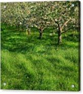 Apple Orchard Acrylic Print