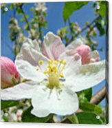Apple Tree Blossom Art Prints Springtime Nature Baslee Troutman Acrylic Print
