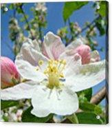 Apple Tree Blossom Art Prints Springtime Nature Baslee Troutman Acrylic Print