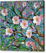 Apple Tree Blossom Acrylic Print