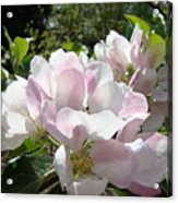 Apple Tree Blossoms Art Prints Baslee Troutman Acrylic Print