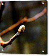 Apple Tree Bud  Acrylic Print