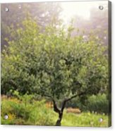 Apple Tree In The Garden Acrylic Print