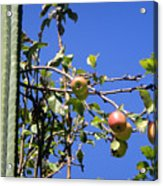 Apple Tree With Apples And Flowers. Amazing Nature Acrylic Print