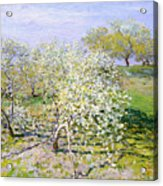 Apple Trees In Bloom  Acrylic Print