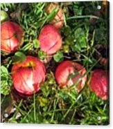 Apples From My Garden Acrylic Print