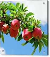 Apples On A Branch Acrylic Print