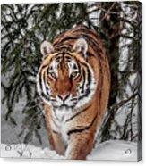 Approaching Tiger Acrylic Print