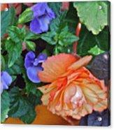 Apricot Begonia 1 Acrylic Print