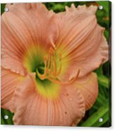 Apricot Day Lily Acrylic Print