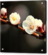 Apricot Flowers Acrylic Print
