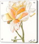 Apricot Rose Acrylic Print