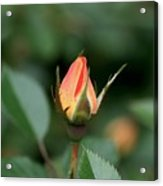Apricot Rose Bud 3 Acrylic Print