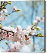 Apricots Bloom Acrylic Print