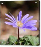 April Grecian Wind Flower  Acrylic Print