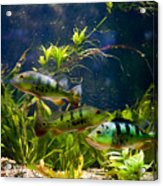 Aquarium Striped Fishes Group Acrylic Print