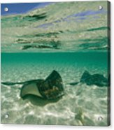 Aquatic Split-level View Of Two Acrylic Print by Wolcott Henry