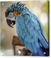 Ara Parrot Acrylic Print