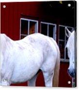 Arab Horses At Home, Behind Their Fence   Acrylic Print