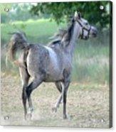 Arab Horse Acrylic Print