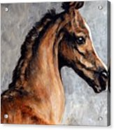 Arabian Foal Acrylic Print