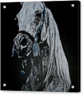 arabian horse I Acrylic Print