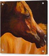 Arabian Horse Oil Painting Acrylic Print