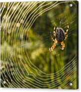 Araneus Morning Acrylic Print