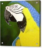 Arara Azul Acrylic Print