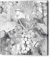Arbor Grapes Sketch Acrylic Print