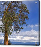 Arbutus Tree At Rathtrevor Beach British Columbia Acrylic Print