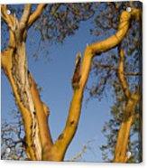 Arbutus Tree At Roesland Acrylic Print