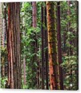 Arcata Forest Acrylic Print