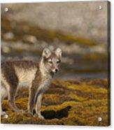 Arctic Fox In Tundra Acrylic Print