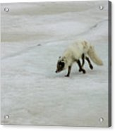 Arctic Fox On Ice Acrylic Print