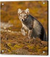 Arctic Fox Striding Out Acrylic Print
