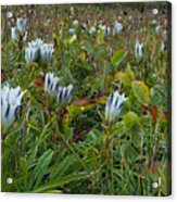Arctic Gentian Blooming In The Alpine Acrylic Print