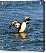 Arctic Loon Acrylic Print