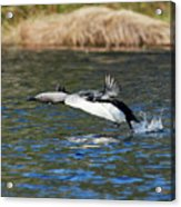 Arctic Loon Take Off Acrylic Print