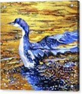 Arctic Loon On Golden Pond Acrylic Print