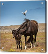 Arctic Tern Attacking Mare Acrylic Print