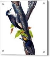 Arctic Three-toed Woodpecker Audubon Birds Of America 1st Edition 1840 Octavo Plate 268 Acrylic Print