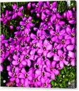 Arctic Wild Flowers Acrylic Print