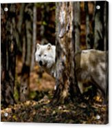 Arctic Wolf In Forest Acrylic Print