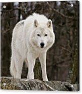 Arctic Wolf On Hill Acrylic Print