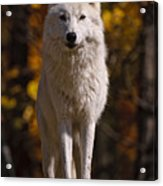 Arctic Wolf On Rocks Acrylic Print