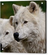 Arctic Wolf Pair Acrylic Print by Michael Cummings