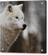 Arctic Wolf Pictures 1242 Acrylic Print